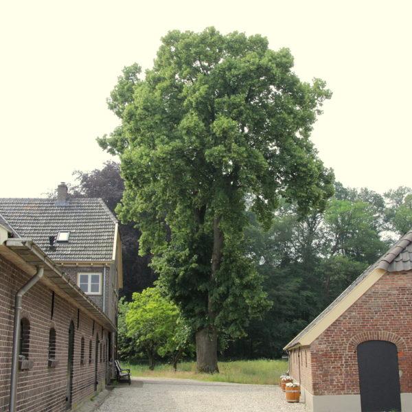 De lindeboom op het erf