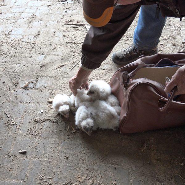 Jonge kerkuilen gaan in de tas