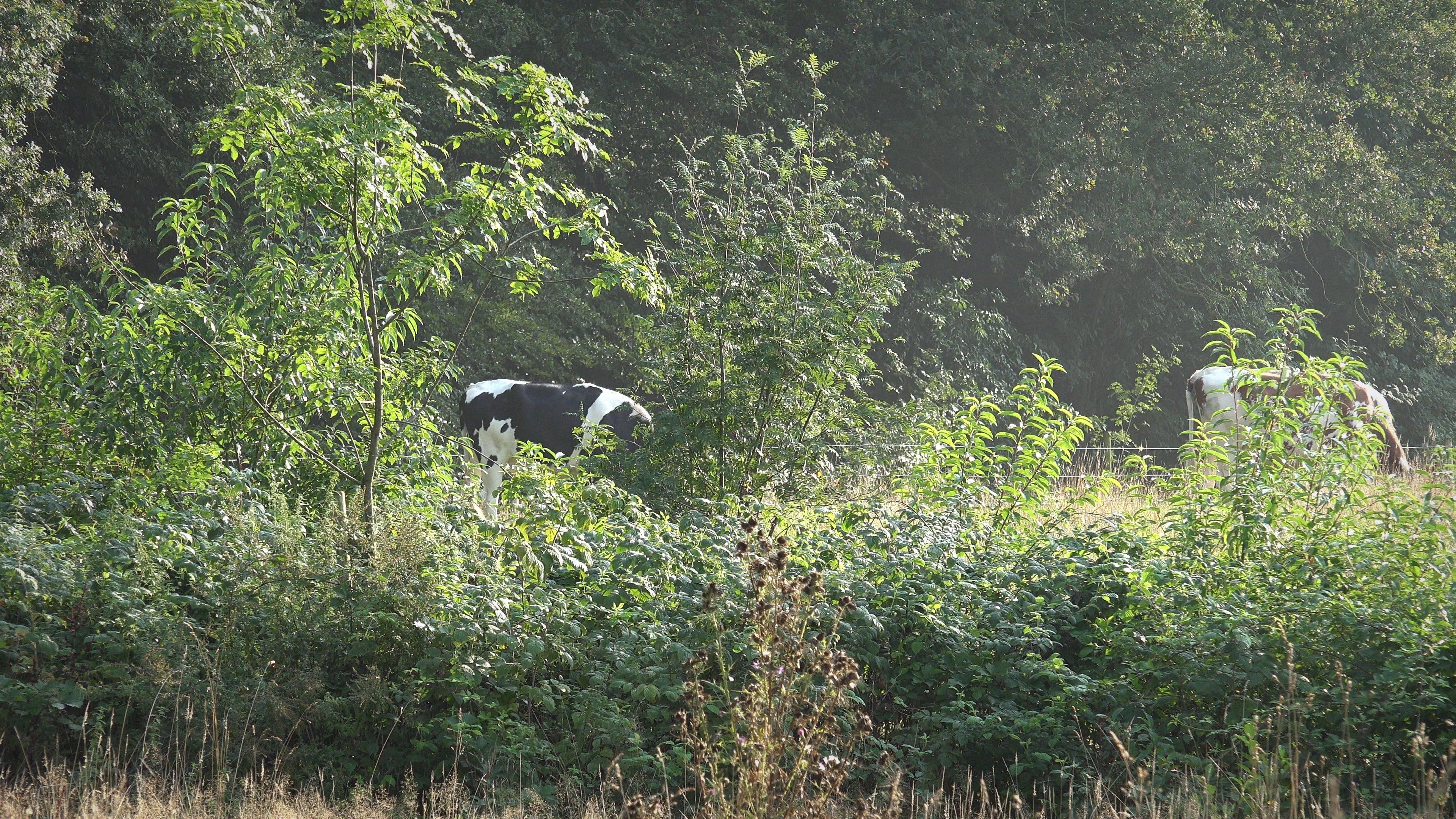 Koeien houden het weiland kort