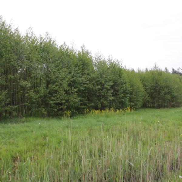 Het elzen hakhout bosje in 2019
